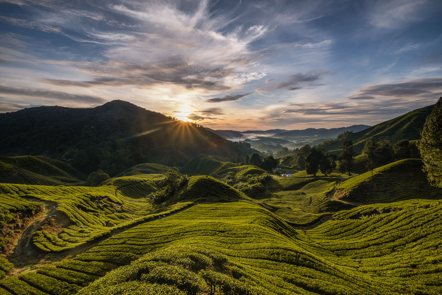 The first sun lights hits green tea fields in Cameron Highlands in Malaysia