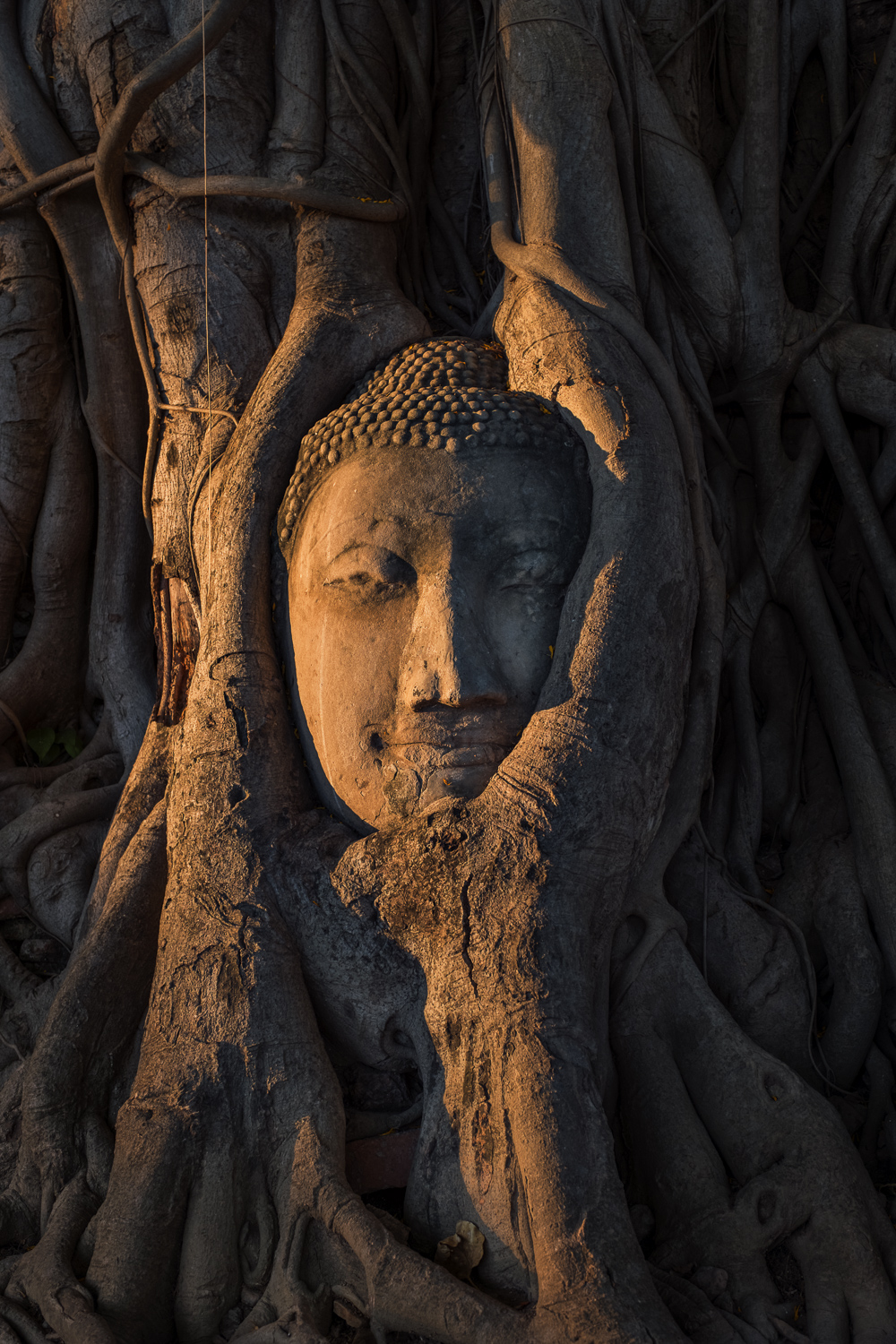 Head of a Buddha made out of stone entwined in the roots of a tree hit by the first sun in the morning. Wat Mahathat in Ayutthaya, Thailand